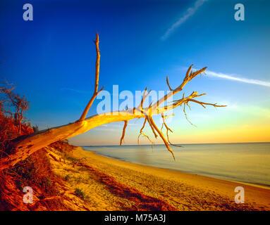 Wald Baumstumpf entlang der Ufer, Cape May, New Jersey, Delaware Bay Stockbild