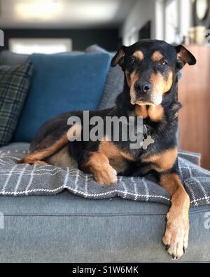Dobermann/Rottweiler auf einer Couch Stockbild