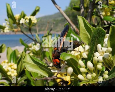Mammut Wasp/Giant solitären Wespe (Megascolia maculata maculata) weibliche Fütterung von Japanischen mock orange Blumen (Pittosporum tobira), Lesbos. Stockbild
