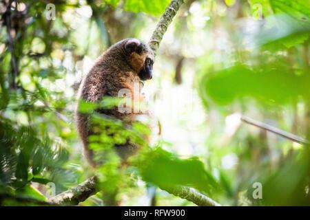 Golden Bambus Lemur (Hapalemur aureus), Ranomafana Nationalpark, Haute Matsiatra Region, Madagaskar, Afrika Stockbild