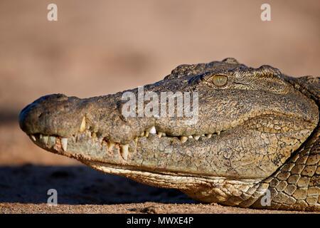 Nilkrokodil (Crocodylus niloticus), Krüger Nationalpark, Südafrika, Afrika Stockbild