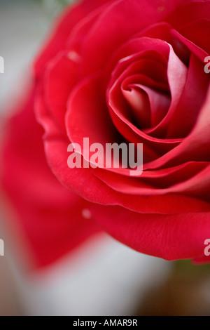 Eine rose Stockbild