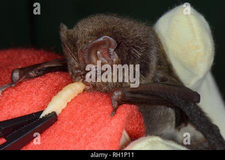Juvenile Barbastelle bat (Barbastella barbastellus) gefunden schwach und nicht in der Lage zu fliegen, Angeboten werden ein Waxworm am bat Rescue Center, Barnstaple, Großbritannien Stockbild