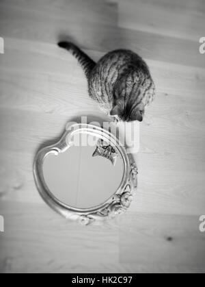 Katze, die sich selbst im Spiegel zu betrachten. Spielerische Miol, der sein eigenes Aussehen zu bewundern. Stockbild