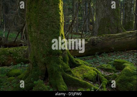 """Österreich/Niederösterreich/alten Wald Reserve"""" neuwald' Stockbild"""
