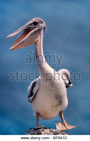 Braune Pelikan juvenile, Pelecanus Occidentalis, Anacapa Island, Channel Islands Nationalpark, Kalifornien Stockbild