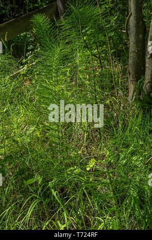 Vegetation der riesigen Schachtelhalm, Equisetum telmateia, in einer natürlichen Umgebung. Stockbild