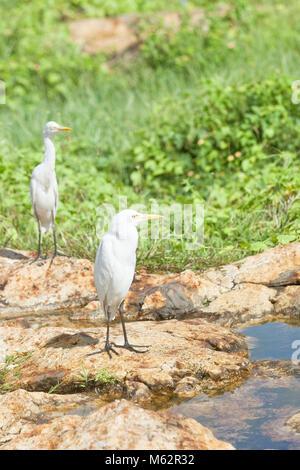 Galle, Sri Lanka, Asien-Weiß asiatische Reiher mit einem Rest an einem kleinen Fluss in Galle Stockbild