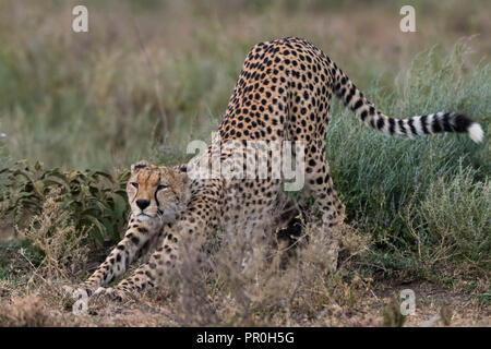 Gepard (Acinonyx jubatus), Ndutu, Ngorongoro Conservation Area, Serengeti, Tansania, Ostafrika, Südafrika Stockbild