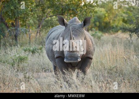 Weiße Nashörner (Rhinocerotidae)), Krüger Nationalpark, Südafrika, Afrika Stockbild