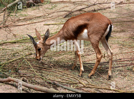 Cuvier Gazelle, Gazella Cuvieri, Antilopinae, Horntiere.  Algerien, Marokko & Tunesien. Stockbild