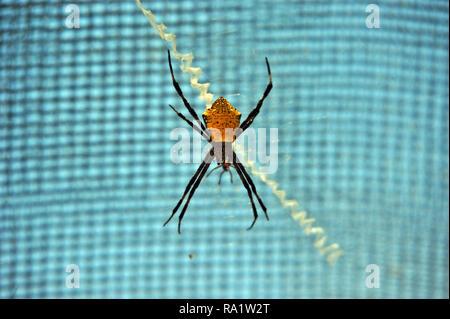 Spider, Siquijor, Philippinen Stockbild