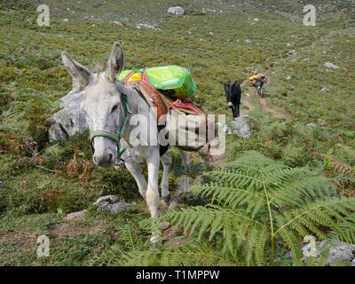Maultiere Lasten bis Durchführung einer Bergwanderung oberhalb der Seen von Covadonga, einem Berg Hütte, Asturien, Spanien, August zu versorgen. Stockbild