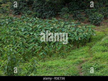 Godere colocasia antiquoum Feld, Sitzbank Maji, Mizan Teferi, Äthiopien Stockbild