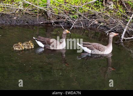 Familie von wilden Graugänsen, Anser Anser, Anatidae. Schwimmen an einem Fluss mit vier Gänsel. Stockbild