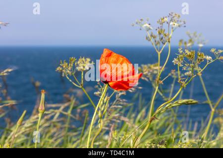 Ein roter Mohn steht an der Steilküste am Meer Stockbild