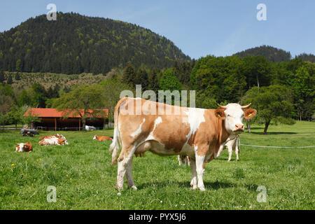 Kühe auf der Alm, St. Margarethen, Brannenburg, Oberbayern, Bayern, Deutschland, Europa ich Kühe in Alm, St. Margarethen, Brannenburg, Oberbaye Stockbild