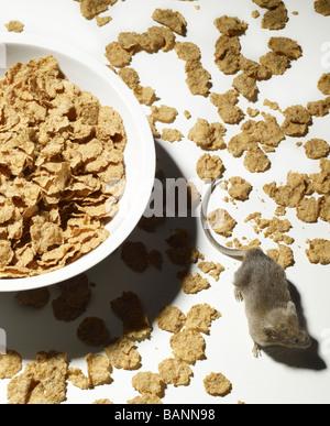 Maus, kriechen durch verschüttetes Getreide mit Schüssel auf weißem Hintergrund Stockbild