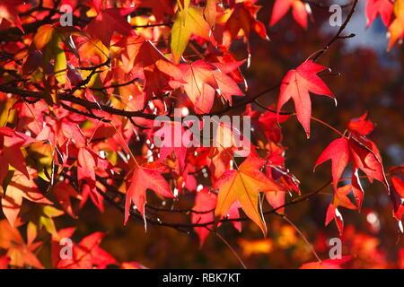Ventilator Ahorn (Acer palmatum), rote Blätter im Herbst auf einem Baum, Deutschland, Europa Stockbild