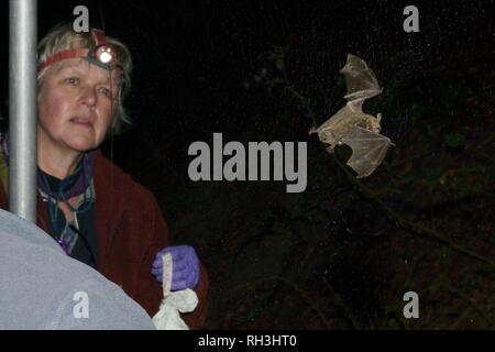 Natterer von bat (Myotis nattereri) in einem Nebel net während der Herbst Umfrage, Box, Wiltshire, UK gefangen Stockbild
