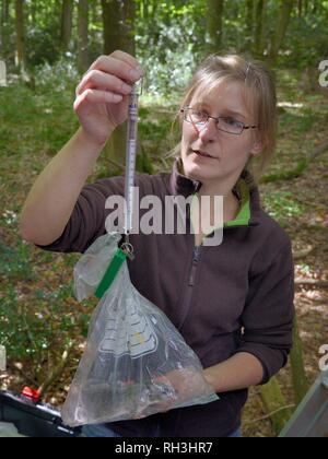 Dani Rozycka wiegen ein Erwachsener Essbar/Fat Siebenschläfer (Glis Glis) in einer Plastiktüte auf eine Federwaage, in Wäldern, in denen dieses Europäische Arten Bec hat Stockbild