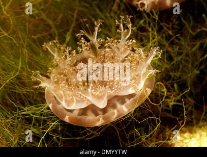 Upside Down Jellyfish, Cassiopea Ornata, Rhizostomeae, Cassiopeidae, Abstammungsverhältnisse Hautverletzungen. Philippinen, Asien. Stockbild