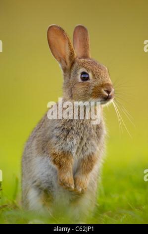 Kaninchen Oryctolagus Cuniculus In Abendlicht aufrecht sitzt ein jungen Kaninchen und Alarm in der Nähe von Stockbild