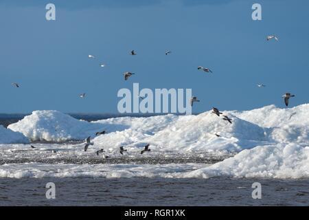 Gemeinsame Möwen (Larus canus) Migration über Wind See Eis in der Nähe der Küste im Frühjahr angehäuft, Peipsi, Estland, April. Stockbild