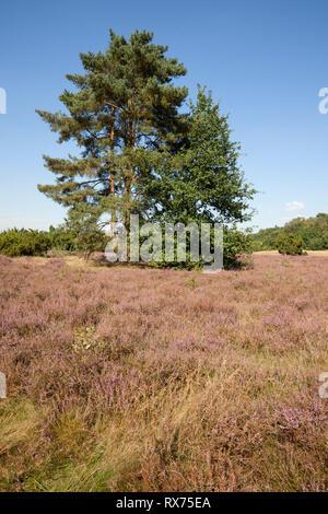Kiefer und Heidekraut, Naturschutzgebiet Westruper Heide, Additional-Rights - Clearance-Info - Not-Available Stockbild