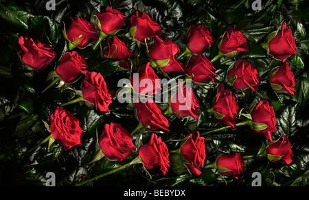 Rote Rosen. Stockbild