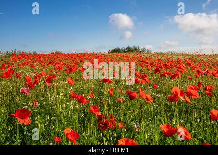 Es gibt Tausende von Roter Mohn stehen auf einer Wiese, die Sonne scheint und es gibt weiße Wolken im blauen Himmel Stockbild