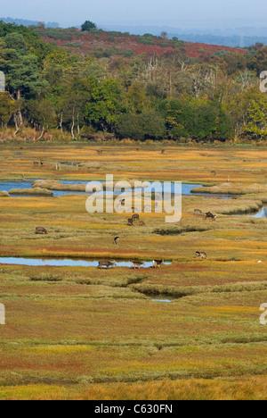 SIKA Hirsch Cervus Nippon A Anzahl der Rehe grasen auf küstennahen Sumpfgebieten Dorset, UK Stockbild