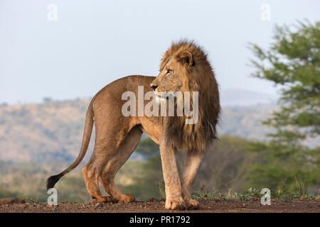 Löwe (Panthera leo), Zimanga Private Game Reserve, KwaZulu-Natal, Südafrika, Afrika Stockbild