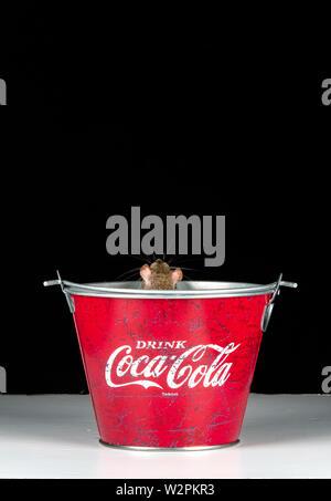 Eine braune Ratte spielt in einem Cola biucket in einem Studio Einstellung Stockbild
