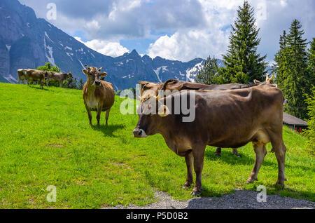 Kühe mit ordnungsgemäß befestigt Ohrmarken auf einer Bergwiese in den Schweizer Alpen in der Nähe von Urnäsch und Schwägalp, Kanton Appenzell Ausserrhoden, Schweiz. Stockbild