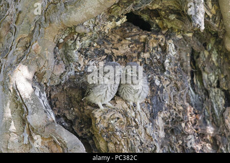 Steinkauz (Athene noctua) 2 Küken, thront ausserhalb Nest, Suffolk, England, UK, Juni Stockbild