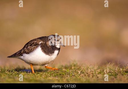 STEINWÄLZER Arenaria Interpres eines Erwachsenen zu Fuß im Profil. Januar. Norfolk, Großbritannien Stockbild