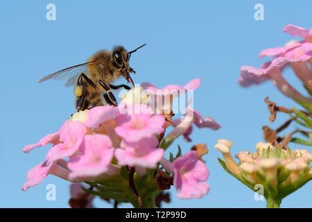Honigbiene (Apis mellifera) nectaring auf Lantana Blumen, Mallorca, Spanien, August. Stockbild