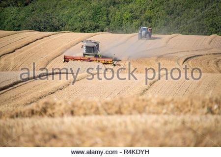 Ernte der Mähdrescher schneiden Sommer Weizenfeld Ernte und Traktoren Anhänger auf der Farm Stockbild