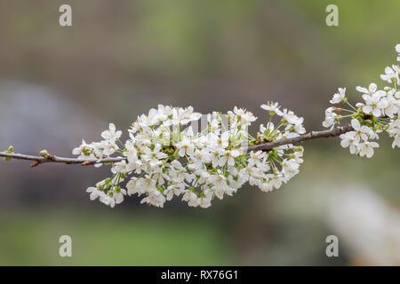 Botanik, Kirsche, blooming cherry tree, Niedersachsen, Additional-Rights - Clearance-Info - Not-Available Stockbild