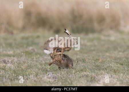 Europäische Hase (Lepus europeaus) erwachsenen Paar, 'Boxing', weiblichen Kampf gegen männliche in der Rasenfläche, Suffolk, England, März Stockbild