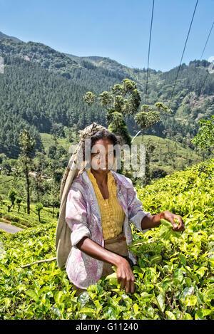 Kommissionierung Tee in Sri Lanka Stockbild