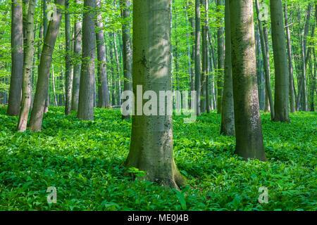 Dappled Licht auf Baumstämmen in einer Buche Wald im Frühling in Bad Langensalza im Nationalpark Hainich in Thüringen, Deutschland Stockbild