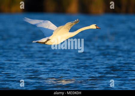 Profil von einem höckerschwan (Cygnus olor) im Flug über den blauen Wassern des Neusiedler See im Burgenland, Österreich Stockbild