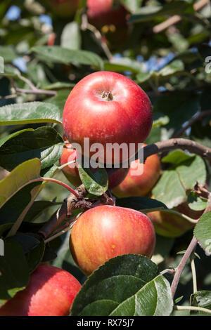 Äpfel auf dem Baum, Niedersachsen, Deutschland, Additional-Rights - Clearance-Info - Not-Available Stockbild
