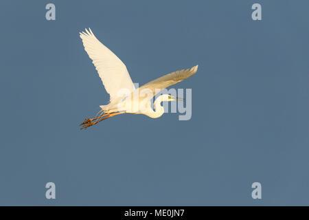 Profil von great white egret (Ardea alba) im Flug vor blauem Himmel am Neusiedler See im Burgenland, Österreich Stockbild