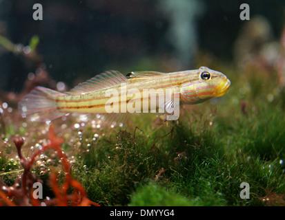 Grundeln Fisch, Gobiinae, Gobiidae, Barsch. Stockbild