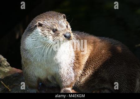 Eurasion Otter Stockbild