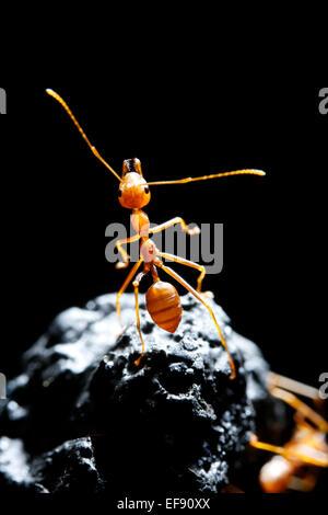 Rote Ameise auf schwarzem Hintergrund Stockbild