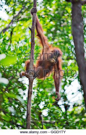 Zoologie/Tiere, Säugetier/Säugetiere (Mammalia), junge Orang-utan in Rasa Ria Orang-utan Baumschule in Stockbild
